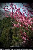 梅の花がさいていました。by 沼津Iphoneから送信by 沼津 533x800(163KB)