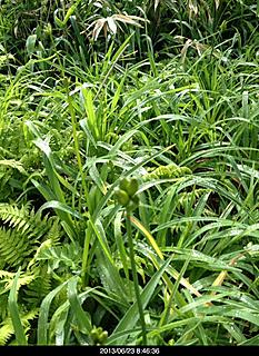 ニッコウキスゲはまだつぼみでした。咲けば見事でしょうね。by  kazuo 466x640(134KB)