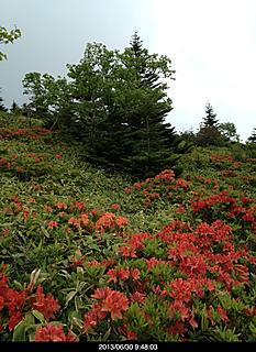 四阿山登山道はレンゲツツジが沢山ありました。by  kazuo 466x640(167KB)