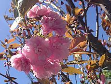 沼津に行って来た。八重桜が咲いていて綺麗だったよ。by ゲストさん 640x482(142KB)