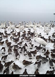 猪苗代湖に沢山居ました。餌のパン取り合い。by  kazuo 480x665(126KB)