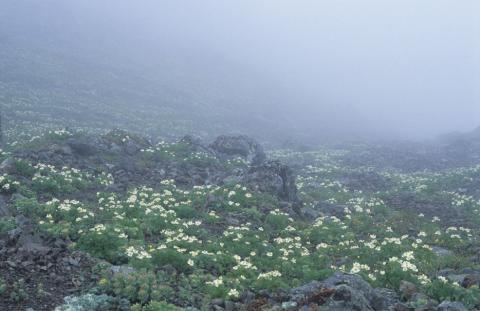 北岳山頂のお花畑