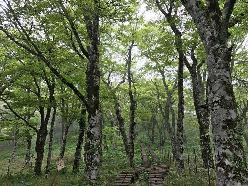 丹沢山のブナ林