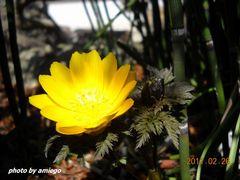 自宅の福寿草咲き出しました